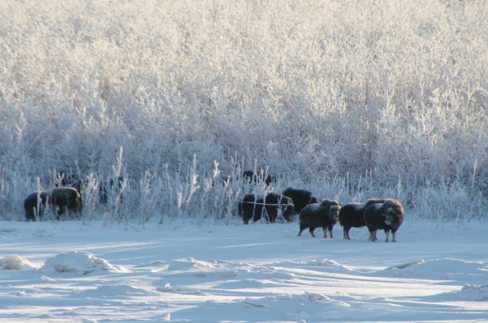 A herd of 12 Musk Ox have been grazing across the river from Bethel. They hung out for several weeks this winter.