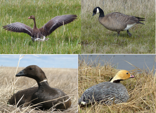 Four Most common geese